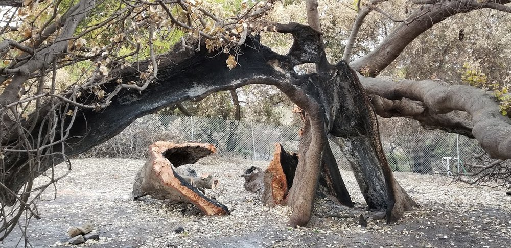 BABA'S TREE after the 2017 Thomas Fire struck the semi-hollow trunk already burned in the 1985 Ferndale Fire, called the New Life Fire by Meher Mount. (Photo: Margaret Magnus, February 13, 2018)