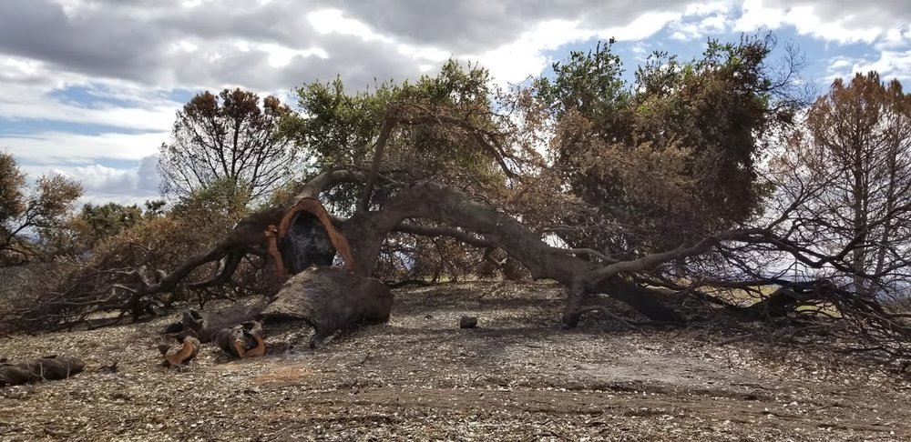 BABA'S TREE after the Thomas Fire and after harvesting of most of the dead wood and branches. (Photo: Margaret Magnus, February 13, 2018)