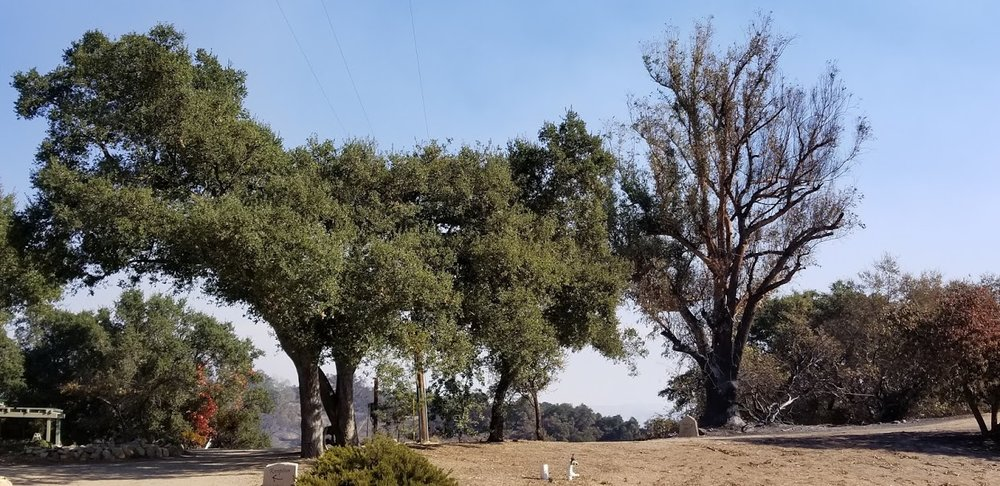 THE LEAFLESS, non-native large eucalyptus ( Eucalyptus globulus ) on the right was more severely burned in the December 2017 Thomas Fire than the native, fire-adapted Coast Live Oaks ( Quercus argifolia ) on the left. (Photo: Margaret Magnus, December 12, 2017)