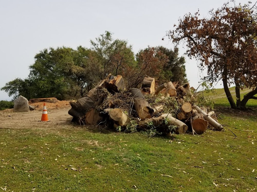 THE BIG EUCALYPTUS is tagged by Southern California Edison for removal. The tree service sent by SCE spent two days cutting down the tree. They returned later to haul away all the cut pieces seen here. (Photo: Margaret Magnus, April 3, 2018)