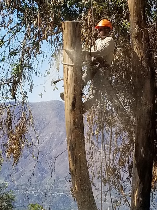 LNS TREE SERVICE crew member cutting down - section by section - one of the 16 eucalyptus trees in the stand by the Baba's Fireplace at Meher Mount. (Photo: Margaret Magnus, March 27, 2018)