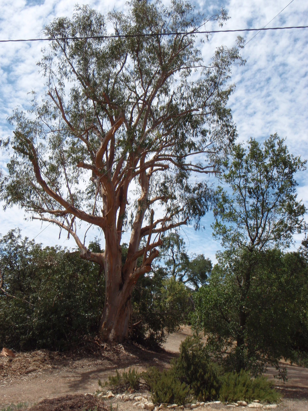 THE BIG EUCALYPTUS that stood near the beginning of the pathway to Baba's Tree. This photo was taken in 2013 just after the tree was trimmed to reduce the danger of falling limbs. (Photo: Margaret Magnus)