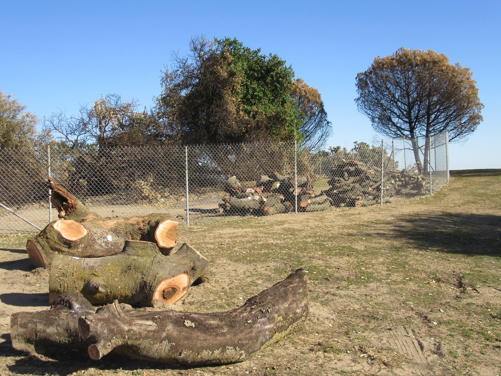 THREE LARGE LIMBS waiting for Peter Harnisch of  Harnisch Tree Care to return with a special mill to create wood planks and the benches. The Seclusion Fence around Baba's Tree is to protect both the tree and visitors. Other logs are waiting to be transported to the storage area. (Photo: Sam Ervin, February 7, 2018)