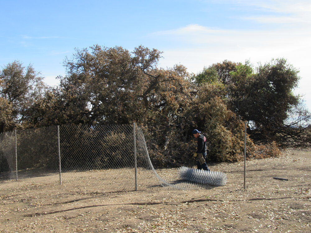 CAL-STATE SITE SERVICES installs a temporary seclusion fence around Baba's Tree at Meher Mount to protect visitors and to help the tree recover from the December 2017 Thomas Fire. (Photo: Sam Ervin, January 17, 2018)