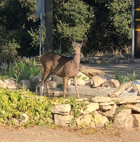 DEER take a drink at the fountain. (Photo: Cassandra Bramucci)