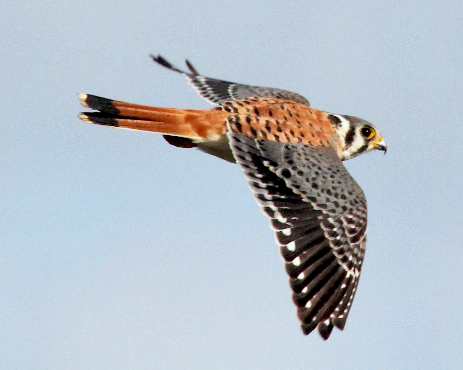 AN AMERICAN KESTREL in flight. (Source:  Free Stock Photos )