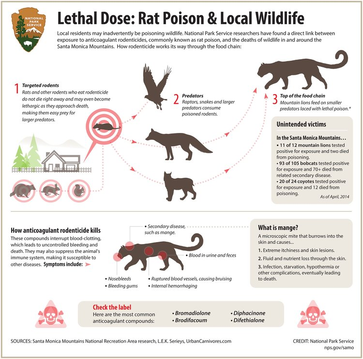 THE DANGER TO WILDLIFE of rat poison in the food chain. (Source:  National Park Service )