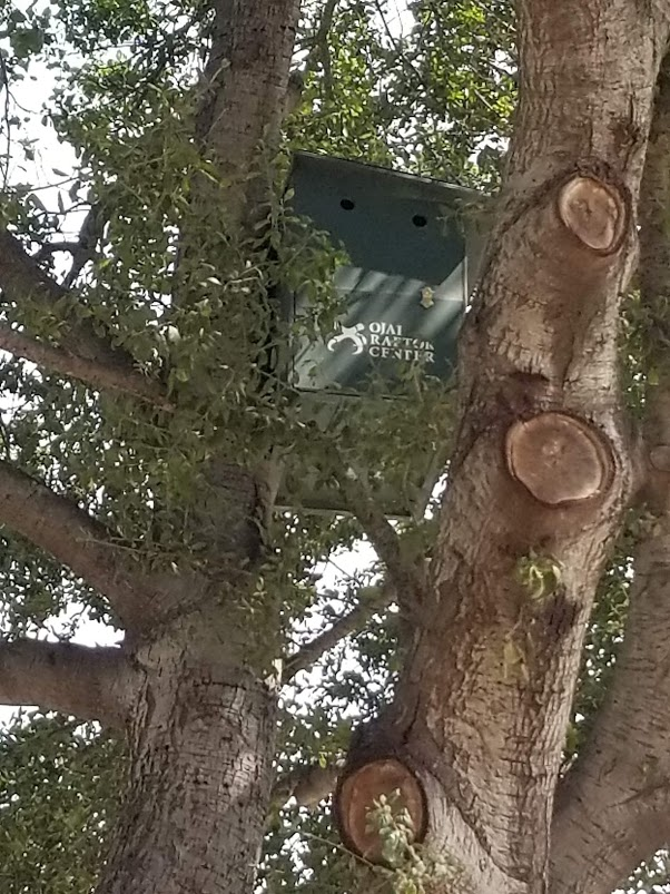 THE BARN OWL BOX in the Coast Live Oak ( Quercus agrifolia ) by the pond in the driveway near the Visitor Center. (Photo: Margaret Magnus, July 31, 2018)