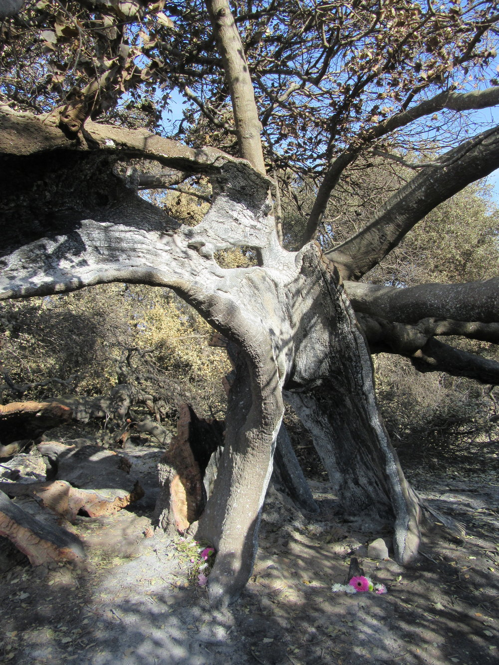 THE 2017 THOMAS FIRE severely burned the already damaged core of Baba's Tree at Meher Mount. The interior tree trunk had burned earlier in the 1985 New Life Fire, and the hollow portion of the tree remained. (Photo: Sam Ervin, January 5, 2018)