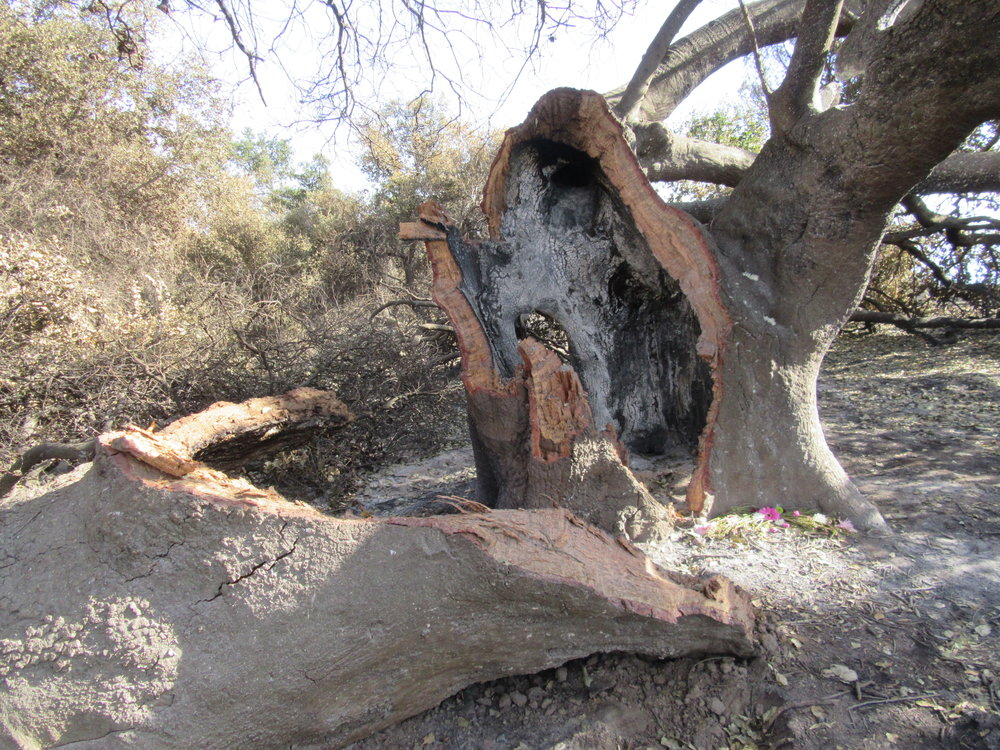 A LARGE LIMB and part of the trunk of Baba's Tree at Meher Mount broke off in the high winds that accompanied the December 2017 Thomas Fire. The core of the tree is completely burned. Only a thin shell remains to support the existing limbs and generate new growth. (Photo: Sam Ervin, January 5, 2018)
