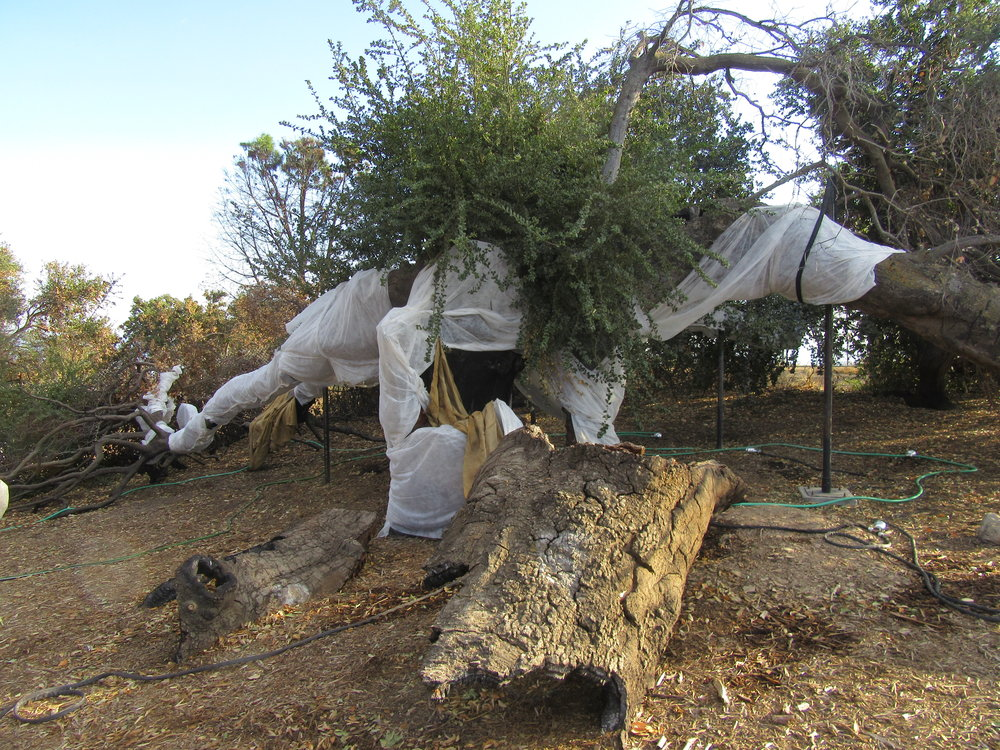 BABA'S TREE with the floating row cover providing sunburn protection, steel props supporting four large limbs, hoses and diffusers for watering. The new live growth is seen in the center, and the new, dead growth is to the left. (Photo: Sam Ervin, November 17, 2018).