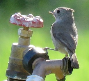 OAK TITMOUSE at the water spigot at Meher Mount. (Photo: Adele Fergusson,    Ventura Aududon Society   , January 2019)