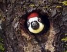 Acorn Woodpecker 3 - Male.png