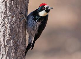 acorn_woodpecker_glamor_stephen_ramirez - All about Birds.jpg