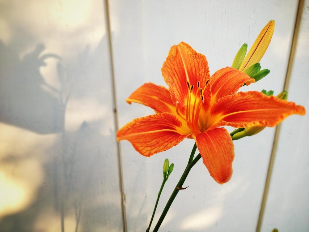 Incipient-bloom