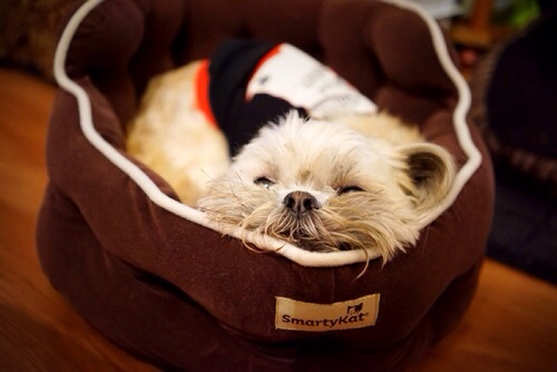 Mumford: My family's Shih Tzu napping in his new bed