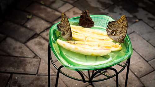 Snack time!Morpho Peleides really like bananas apparently -there were about 8 on here at one point during my visit