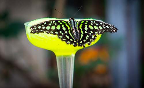 Graphium Agamemnon:This guys wings matched the nectar (which looks like a margarita from this angle)