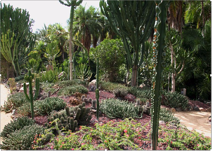 In the    'Cacti and Euphorbia Garden'    of Lotusland.