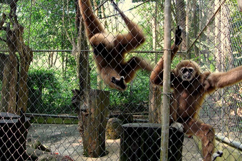 Мини зоопарк - гиббоны