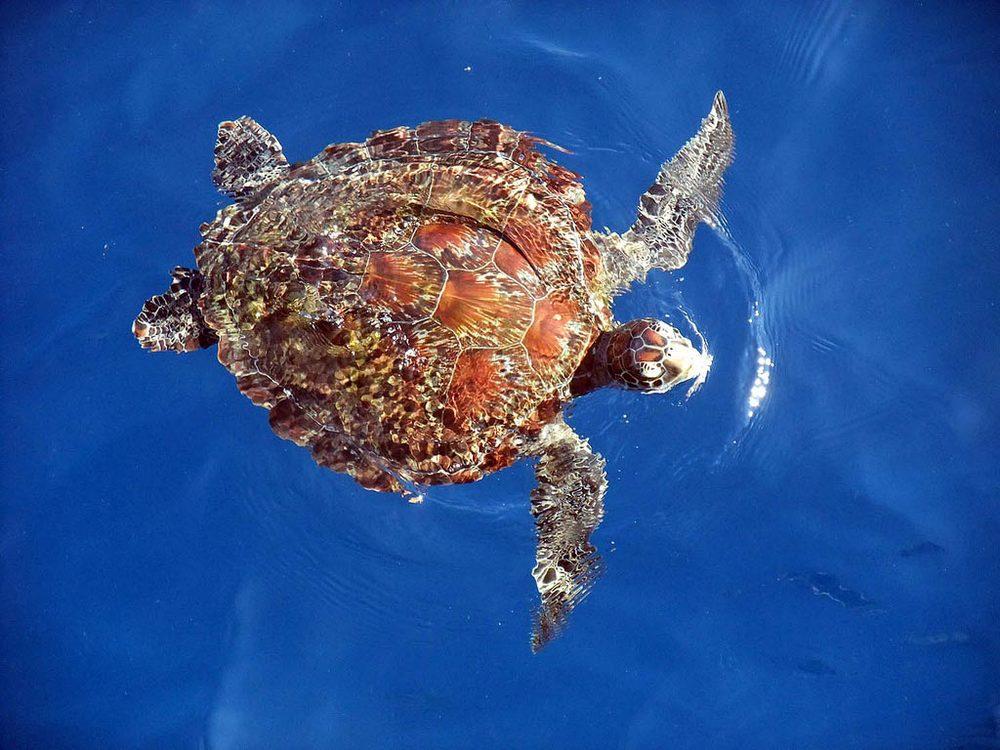 Симиланские острова - морские черепахи