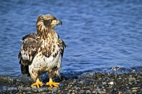 Young eagles have mottled white and brown feathers.  The dark body and white head feathers grown in once they reach maturity.
