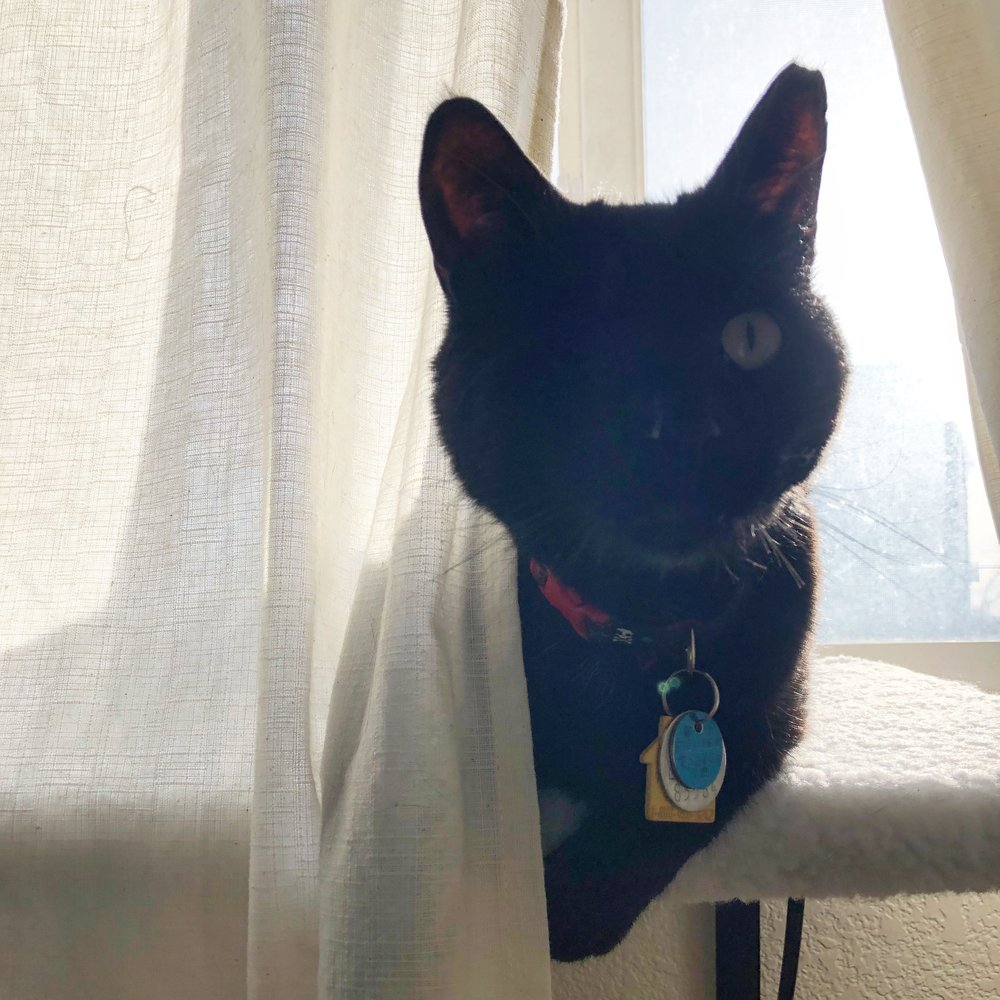 portia-hybrid -caretaker-cat-milo-2.JPG