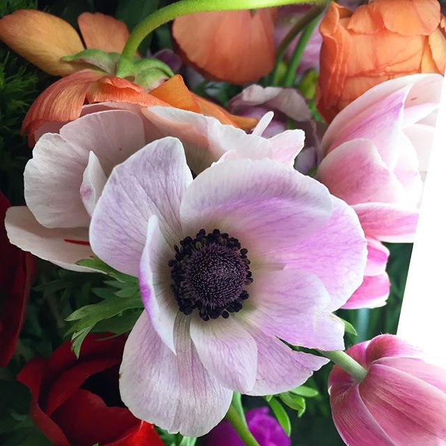 I always love the blooming gorgeousness at @pennyandlulu in my hometown. I mean, look at this anemone! Come on! 😍 #flowersofinstagram #anemone #abmlifeiscolorful #abmhappylife #acolorstory #flashesofdelight #dscolor #dsshapes #dspink #myunicornlife #livecolorfully #huffpostgram #oklcolorstory #ilovecolor #dslooking