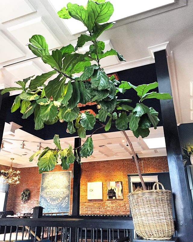 Fiddle leaf spotted in the wild! I wish it could move into my house! 😍🌿 Today was a very welcome, sunny day, with the best company, @tim_kati_case. 👭 #fiddleleaf #fiddleleaffig