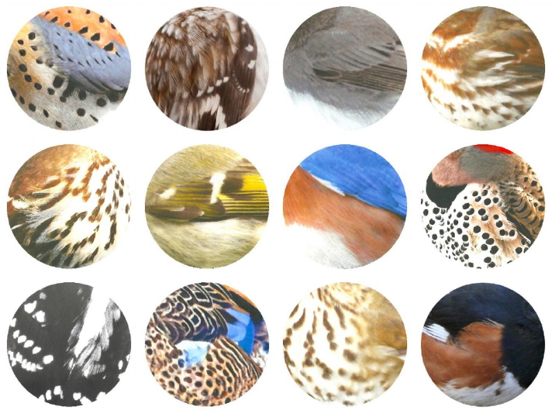 Top L-R: American Kestrel, Brown Creeper, Eastern Phoebe, Fox Sparrow. Middle L-R: Brown Thrasher, Golden-crowned Kinglet, Eastern Bluebird, Northern Flicker. 3rd L-R: Downy Woodpecker, Blue-winged Teal, Hermit Thrush, Eastern Towhee. Jennifer Hoffman 2017.