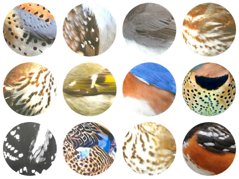 Top L-R: American Kestrel, Brown Creeper, Eastern Phoebe, Fox Sparrow. Middle L-R: Brown Thrasher, Golden-crowned Kinglet, Eastern Bluebird, Northern Flicker. 3rd L-R: Downy Woodpecker, Blue-winged Teal, Hermit Thrush, Eastern Towhee.  2017 Jennifer Hoffman