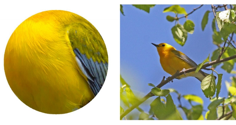 Prothonotary Warbler.  2017 Jennifer Hoffman                                                     Prothonotary Warbler. Photograph: Geoffrey Williamson 2017