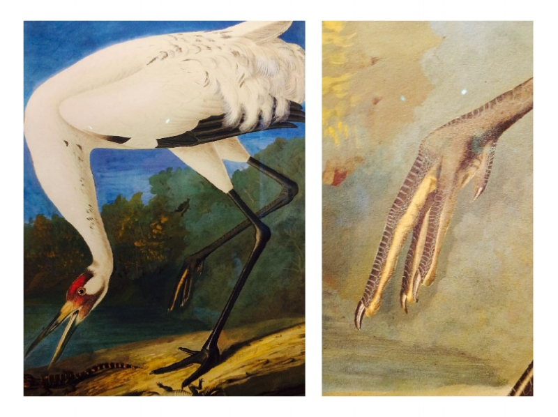 John James Audubon Whooping Crane, 1834 (Photos: L: The Bird R: The Nerd)