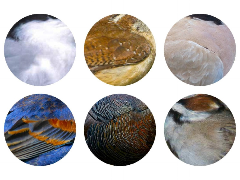 Top Row: Forster's Tern, Carolina Wren and Eurasian Collard-Dove. Bottom Row:  Blue Grosbeak, Wild Turkey and Lark Sparrow.  2017 Jennifer Hoffman