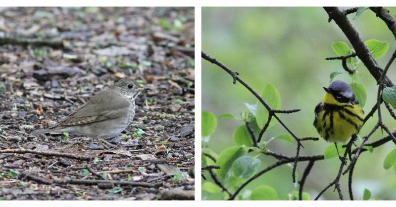 Gray-cheeked Thrush and Magolia Warbler.  Photograph: Geoffrey Williamson 2017