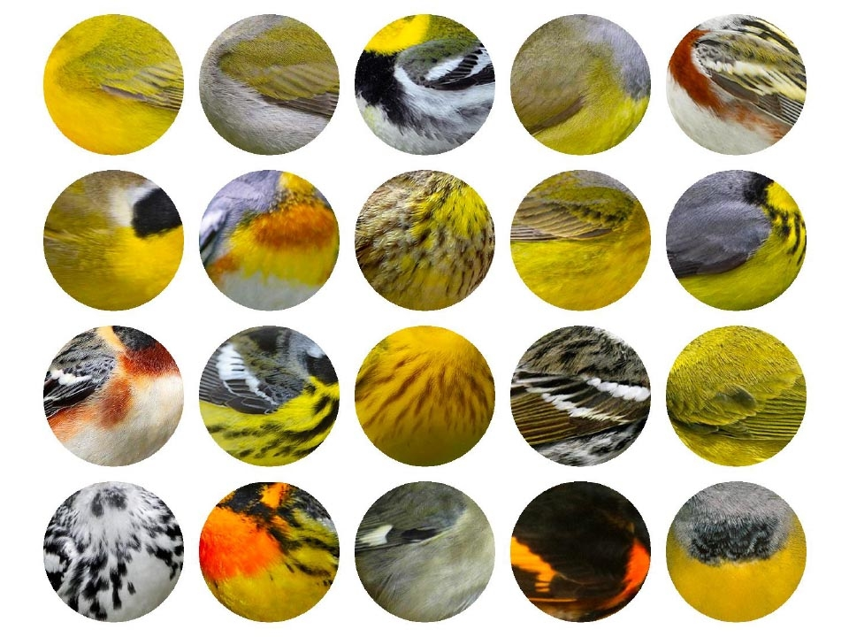Top: Wilson's Warbler, Tennessee Warbler, Black-throated Green Warbler, Connecticut Warbler, Chestnut-sided Warbler  Second: Common Yellow-throat, Northern Parula, Palm Warbler, Nashville Warbler, Canada Warbler. Third: Bay-breasted Warbler, Magnolia Warbler, Yellow Warbler, Black-poll Warbler, Orange-crowned Warbler. Bottom: Black and White Warbler, Blackburnian Warbler, Black-throated Blue Warbler (female), American Redstart, Mourning Warbler. 2017 Jennifer Hoffman