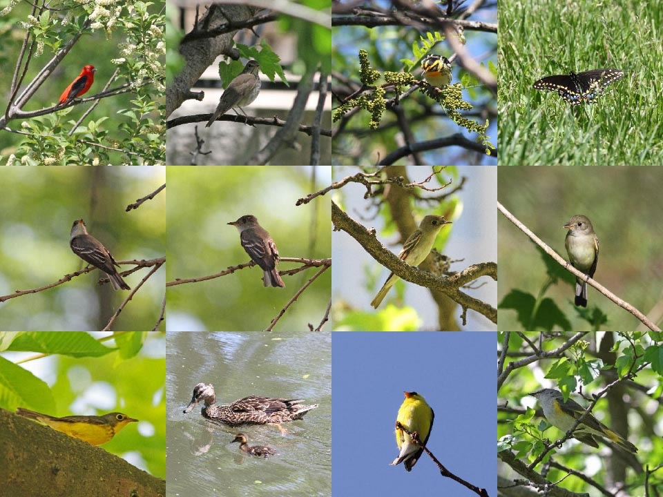 Top: Scarlet Tanager, Gray-cheeked Thrush, Blackburnian Warbler, Black Swallowtail Butterfly.  Middle: Eastern Wood-Pewee,  Eastern Wood-Pewee, Yellow-bellied Flycatcher, Alder/Willow Flycatcher.  Bottom: Canada Warbler, Mallard ducks, American Goldfinch and American Redstart. Photos: Geoffrey Williamson 2017
