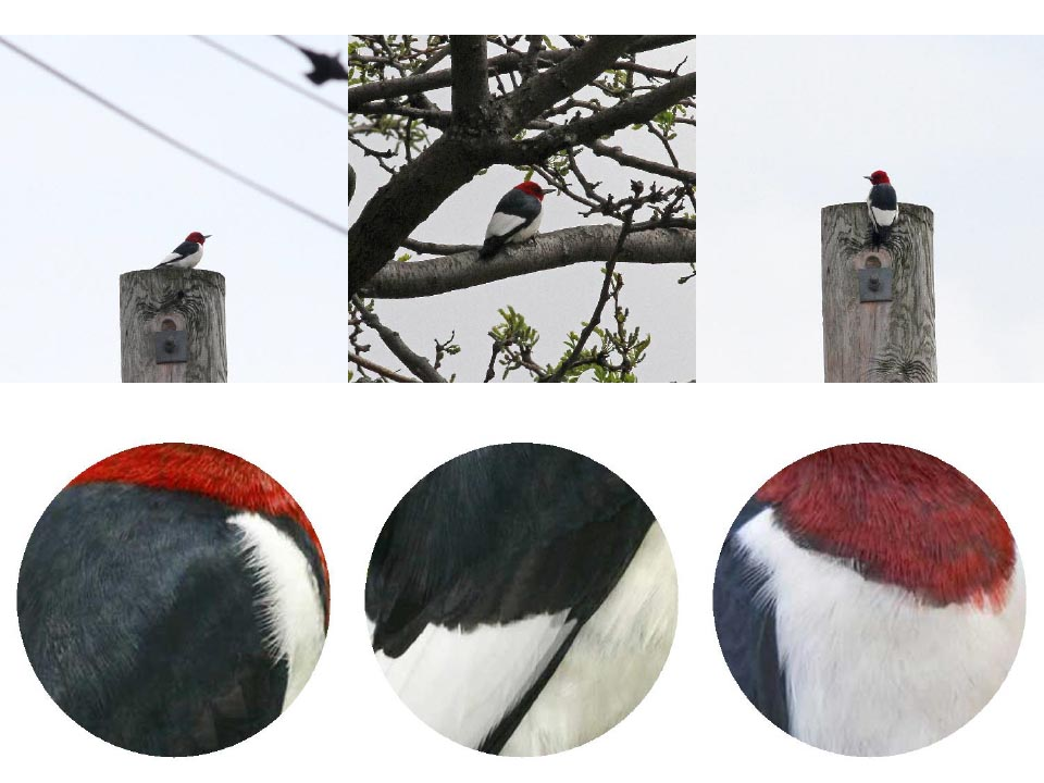 Top: Red-headed Woodpecker Photo: Geoffrey Williamson 2017 Bottom: Red-headed Woodpecker 2017 Jennifer Hoffman