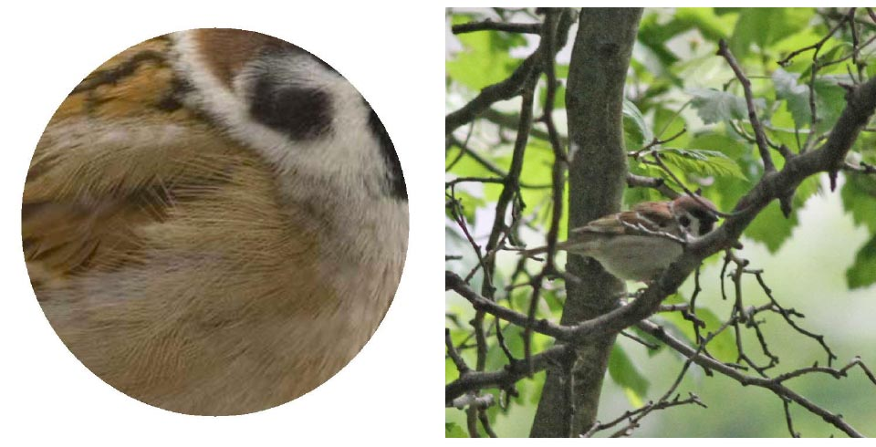 Top: Bird Images: Black-capped Chickadee, Orange-crowned Warbler, Orange-crowned Warbler, Yellow-rumped Warbler. Photos: Geoffrey Williamson 2017   Center: The Magnificent Scout. Photo: Jennifer Hoffman 2017  Bottom: Eurasian Tree Sparrow 2017 Jennifer Hoffman                                                          Eurasian Tree Sparrow  Photo: Geoffrey Williamson