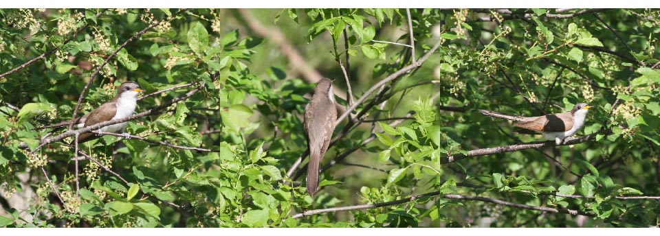 Yellow-billed Cuckoo. Photos: Geoffrey Williamson 2017
