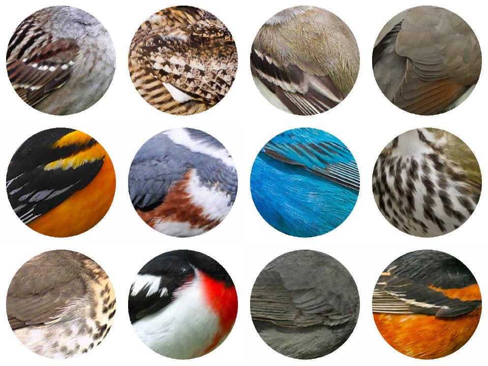 Top: White-crowned Sparrow, Common Nighthawk, Alder Flycatcher, Yellow-billed Cuckoo. Middle: Baltimore Oriole, Belted Kingfisher, Indigo Bunting, Ovenbird. Bottom: Swainson's Thrush, Rose-breasted Grosbeak, Gray Catbird, Orchard Oriole. 2017 Jennifer Hoffman