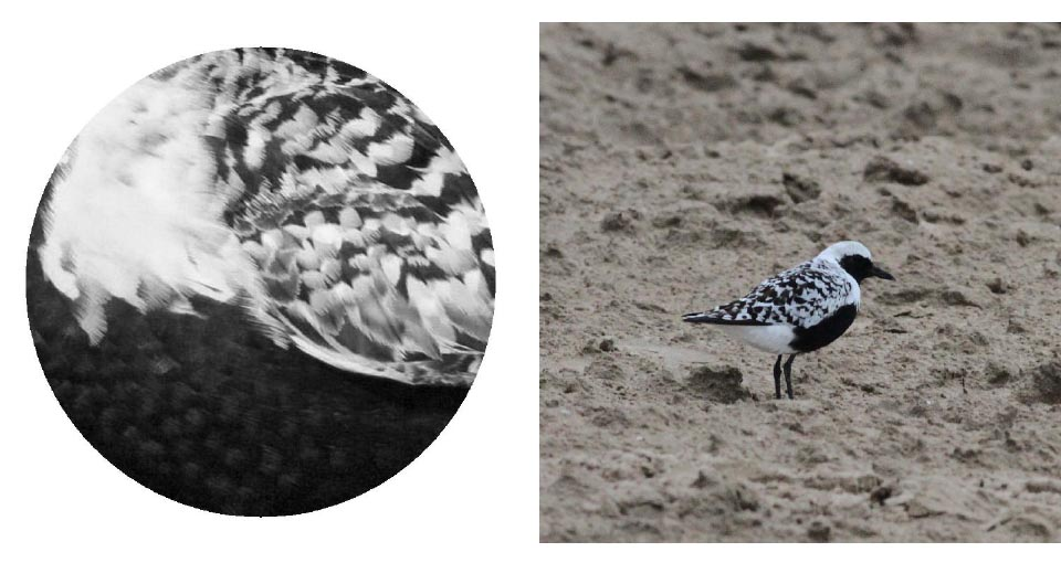Top: The Nerd locating the Black-bellied Plover for The Bird. Photos: Jennifer Hoffman 2017 Bottom: Black-bellied Plover 2017 Jennifer Hoffman                                                               Black-bellied Plover. Photo: Geoffrey Williamson 2017