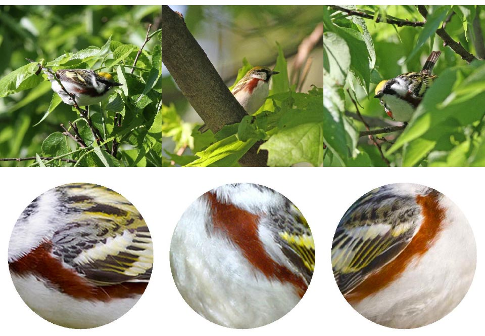 Top: Chestnut-sided Warbler. Photos: Geoffrey Williamson 2017 Bottom: Chestnut-sided Warbler 2017 Jennifer Hoffman