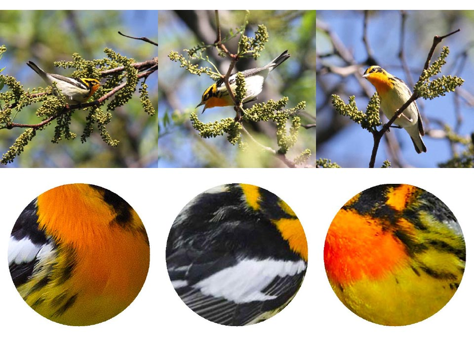Top: Blackburnian Warbler. Photos: Geoffrey Williamson 2017 Bottom: Blackburnian Warbler 2017 Jennifer Hoffman