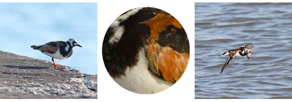 Ruddy Turnstone. Photos: Geoffrey Williamson 2017 Ruddy Turnstone 2017 Jennifer Hoffman