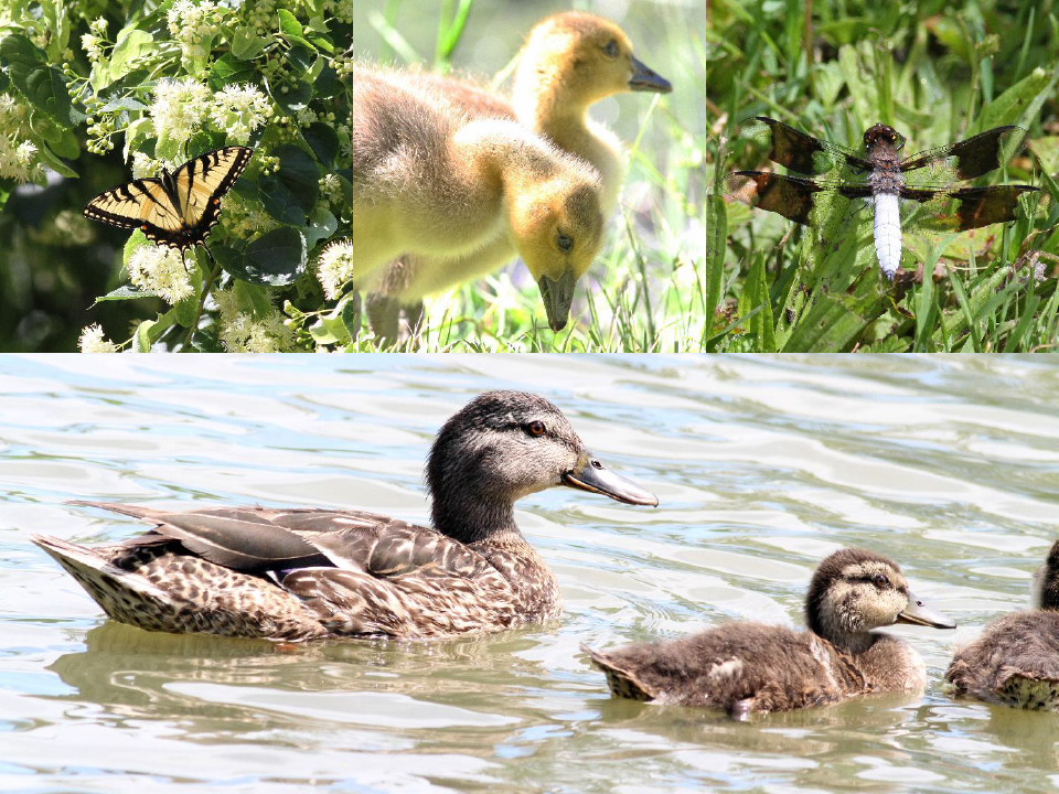 Top Row: Swallowtail butterfly, bay Canada Geese,Common whitetail.  Bottom: Female Mallard with young. Photographs: Geoffrey Williamson 2017