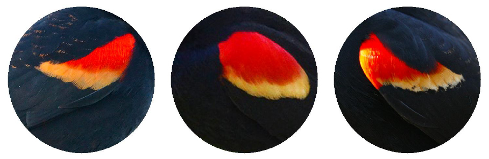 Red-winged Blackbird. 2017 Jennifer Hoffman