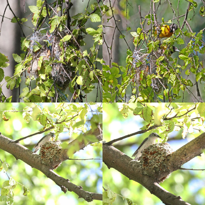 Top Images: Baltimore Oriole nest with young. Bottom Images: Blue-gray Gnatcatcher nest with young.                 Photographs: Geoffrey Williamson 2017