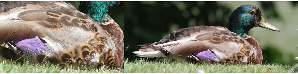 Mallard growing fresh plumage. Photographs: Geoffrey Williamson 2017