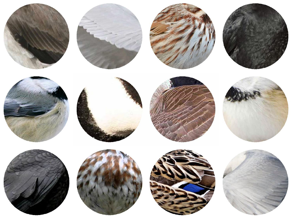 Top Row: Rough-winged Swallow, Caspian Tern, Song Sparrow, American Crow. Middle Row: Black-capped Chickadee, Canada Goose, Canada Goose, Black-capped Chickadee. Bottom Row: American Crow, Song Sparrow, Mallard and Caspian Tern. 2017 Jennifer Hoffman